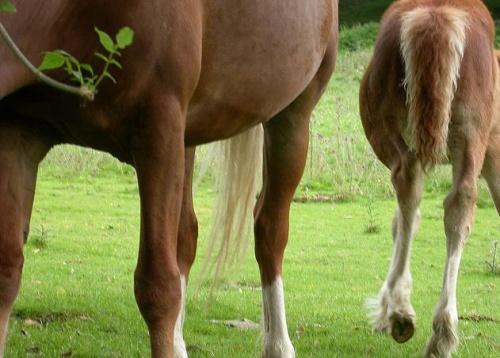 Ízületi gyulladás lovakban