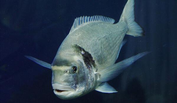 készítmény halak ízületeire)
