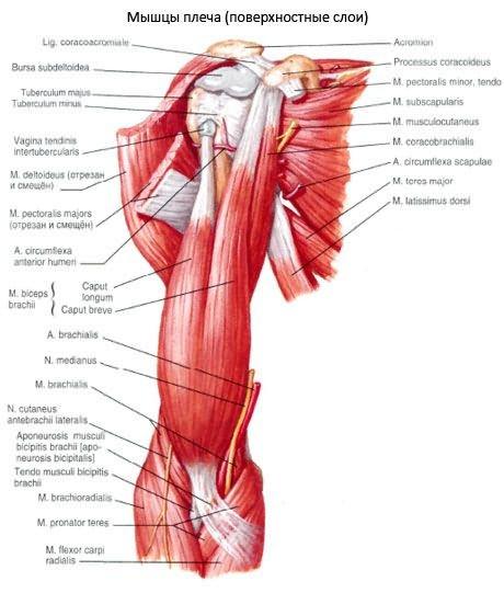 a brachialis artrózisa