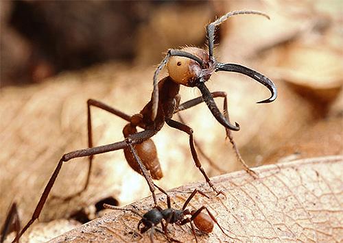 hangyák együttes kezelése