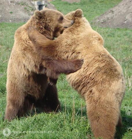 közös balzsam medve vélemények