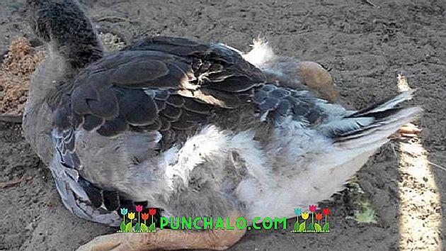 kacsák ízületi betegsége