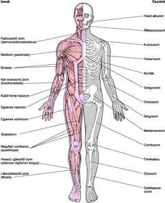 csontok és ízületek sérülései)