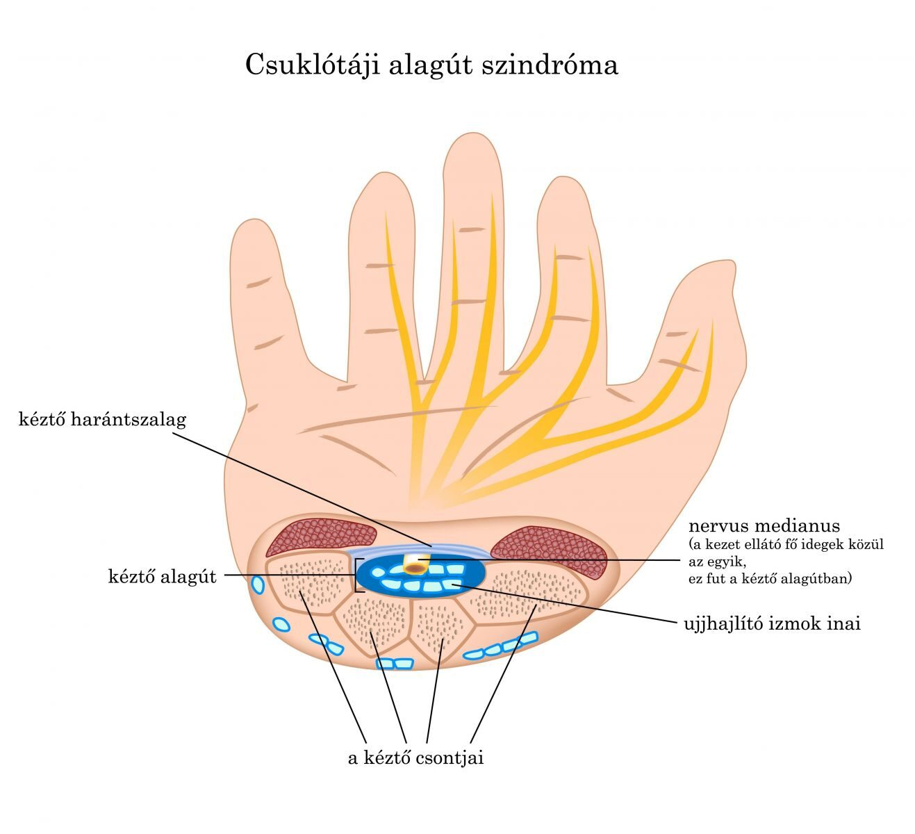 amely kezeli az ujjak ízületeit)