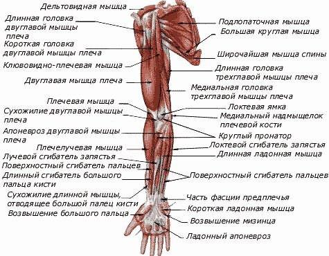 a fájdalom lokalizációja a csípőízület artrózisával