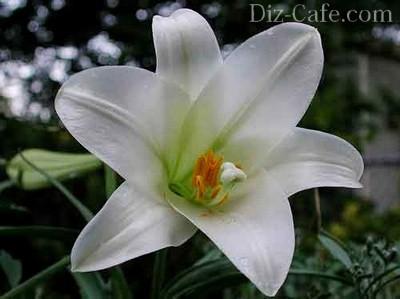 liliom virág együttes kezelése)