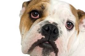 angol bulldog ízületi betegség