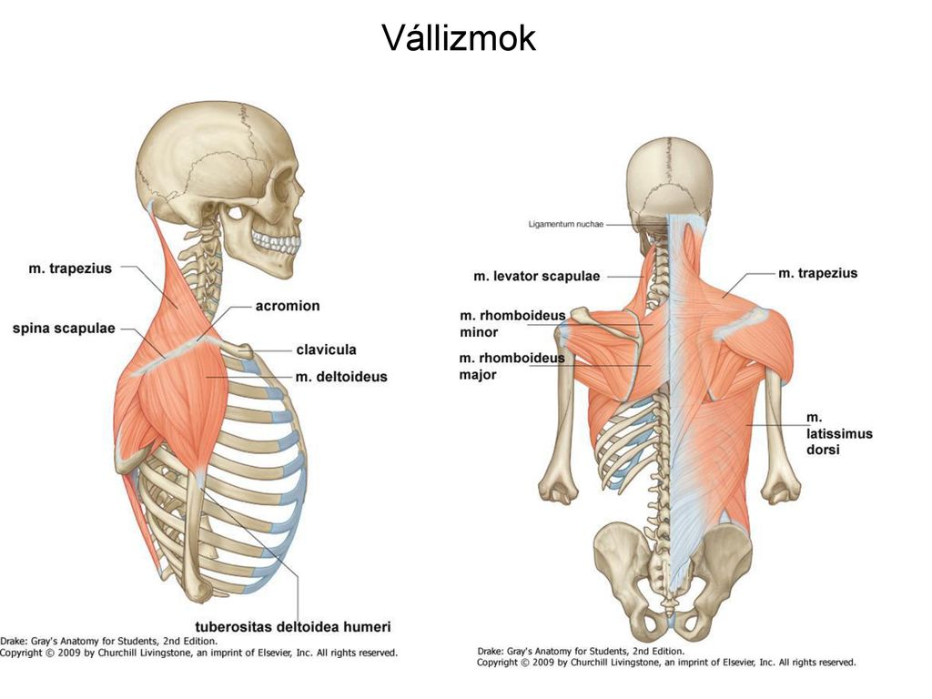 Általános ízület- és izomtan A vállöv és váll ízületei, izmai mozgásai