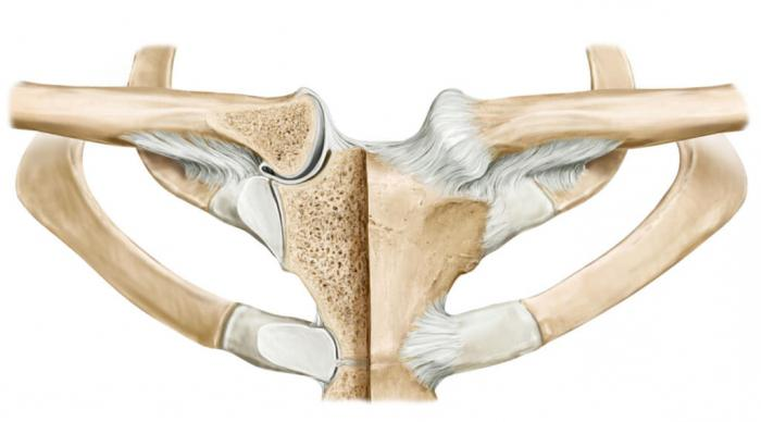 a clavicularis acromialis ízület)