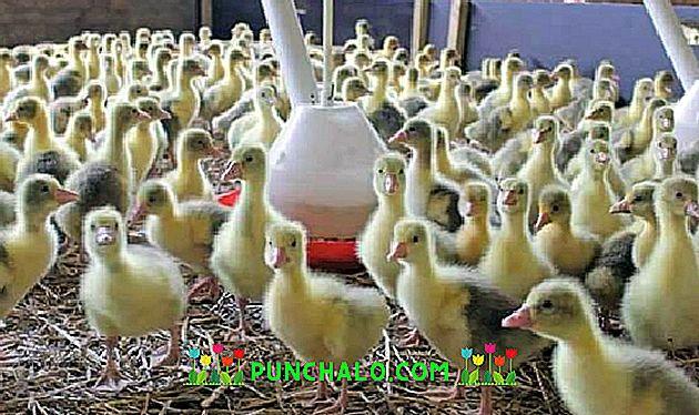 A kacsák és a libák anatipestifer-betegsége - Autovakcina