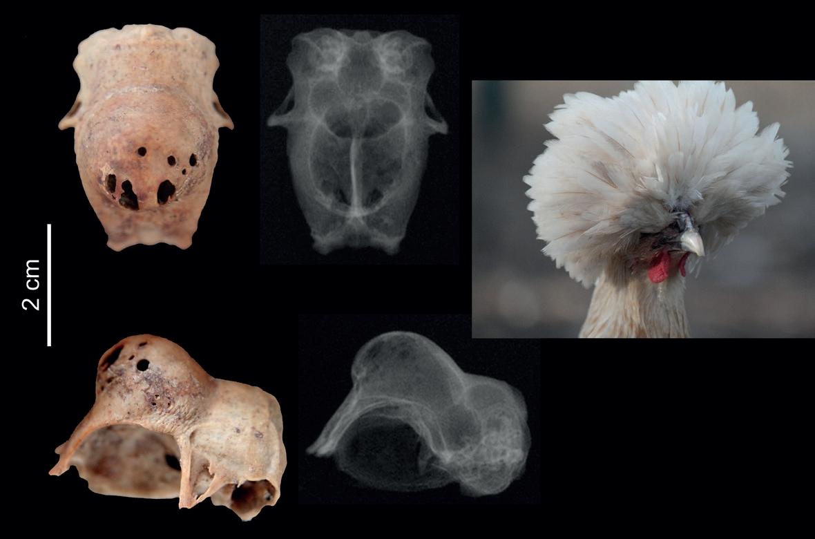 madár ízületi betegség