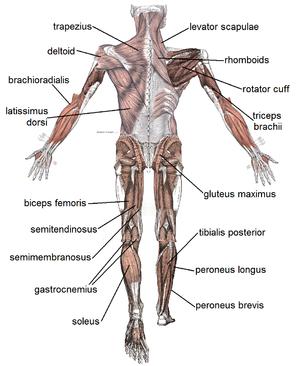az ízületek és az izmok fájnak a csontokról)