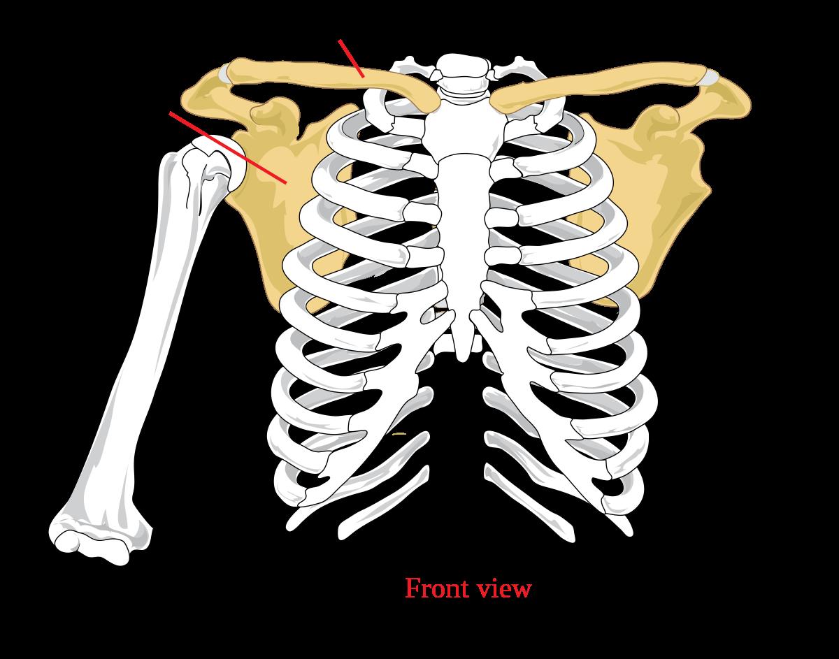 clavicularis ízületi fájdalom